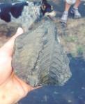 Fernie Fossils